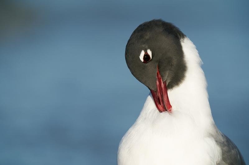 Laughing-Gull-preening-neck-_A9B0671-Fort-DeSoto-Park-Tierra-Verde-FL
