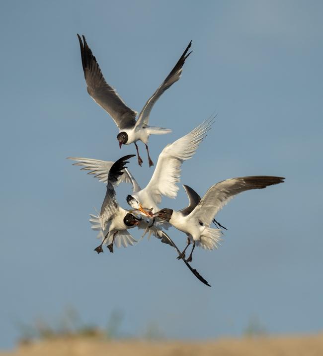 Laughing-Gulls-Royal-Tern-food-fight-_A1B6494-Jacksonville-FL