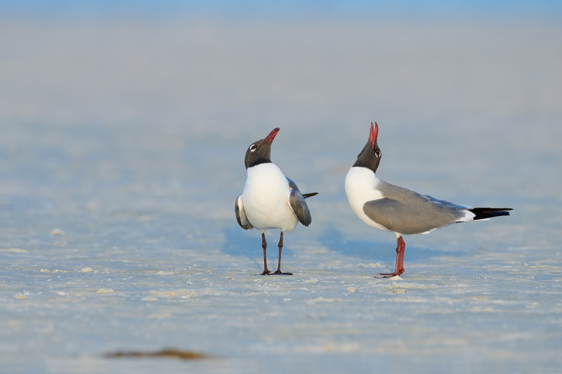 Laughing-Gulls-courting-_BUP5965-Fort-DeSoto-Park-Tierra-Verde-FL-1