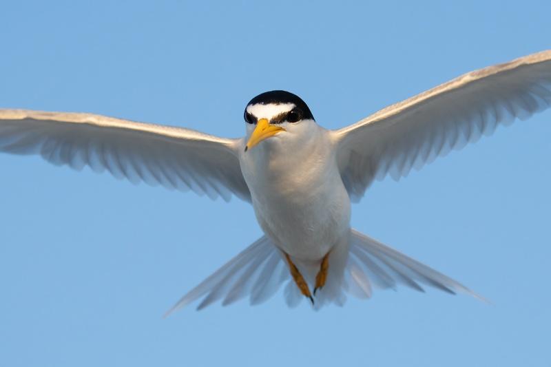 Least-Tern-flight-tight-crop-_A1B0678-Fort-DeSoto-Park-Tierra-Verde-FL-copy