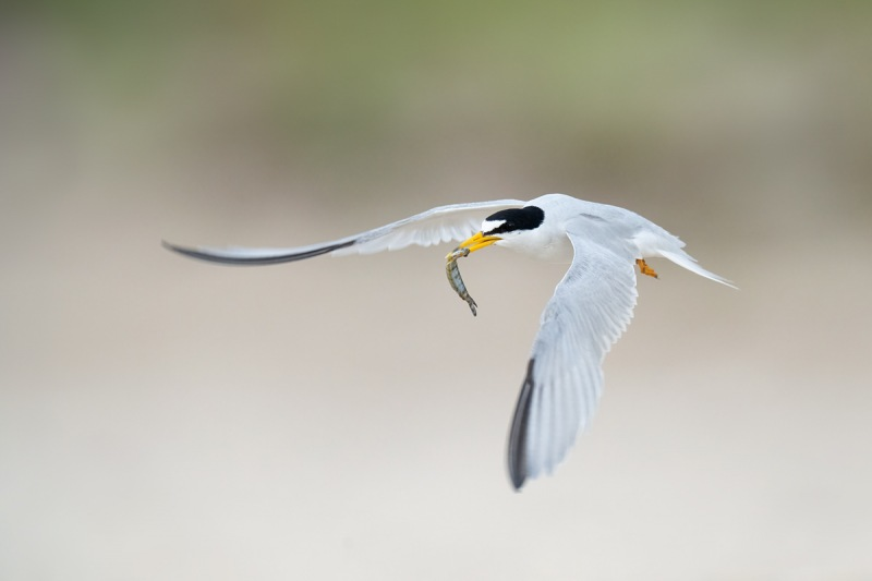 Least-Tern-with-fish-for-young-_A1B3698-Southeast-Florida