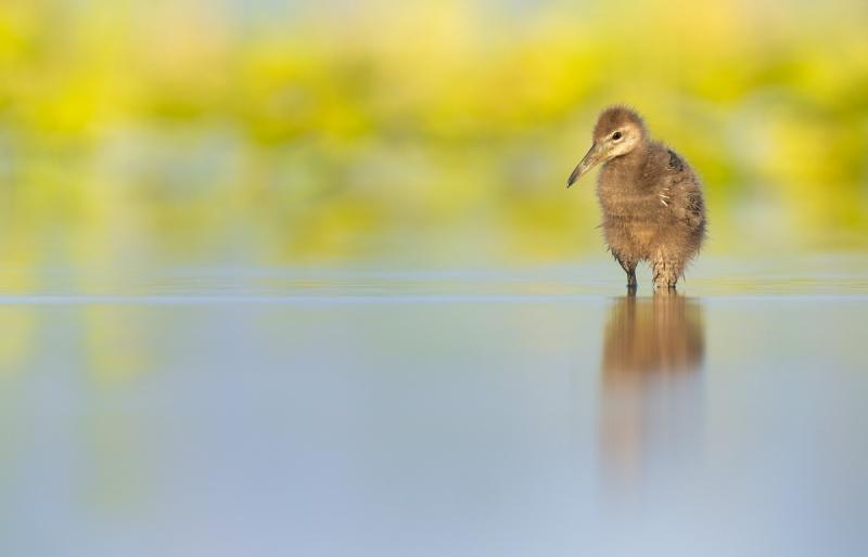 Limpkiin-chick-_A1A0002-Indian-Lake-Estates-FL-