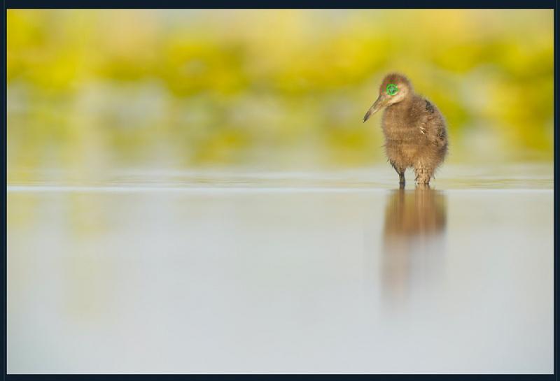 Limpkin-chick-AF-tts