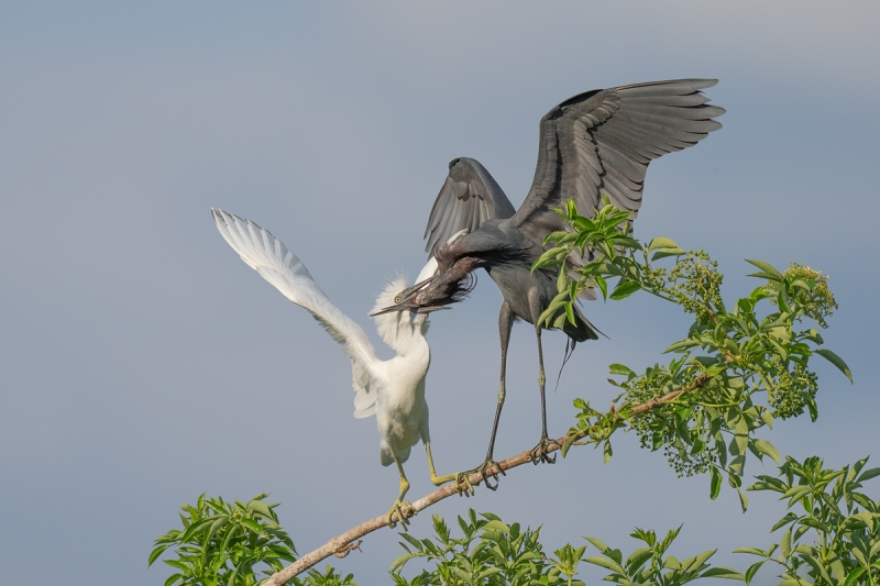 Litle-Blue-Heron-feeding-fledgling-_A1A5396-North-Tampa-Rookery-FL-
