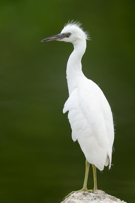 Little-Blue-Heron-fresh-juvenile-_A1A9235-North-Tampa-FL-