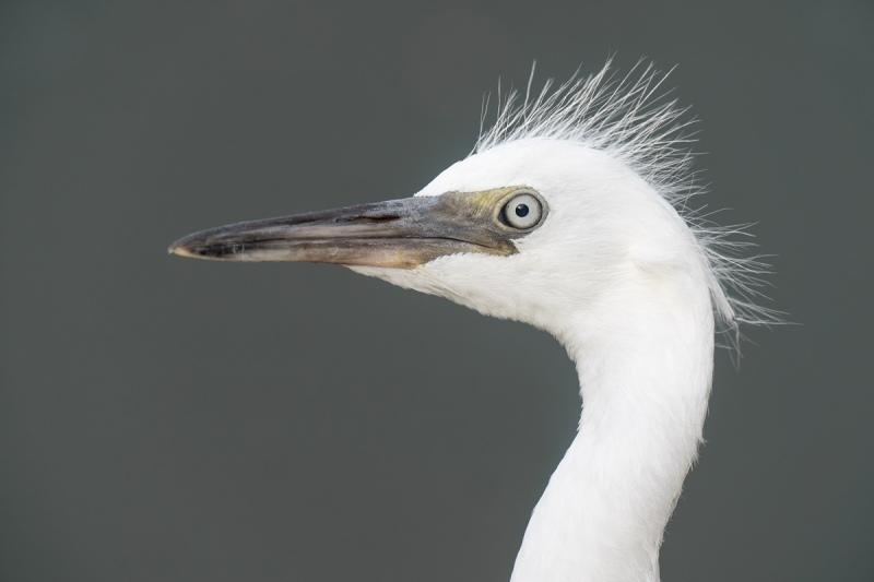 Little-Blue-Heron-fresh-juvenile-head-portrait-_A1A9517-North-Tampa-FL-