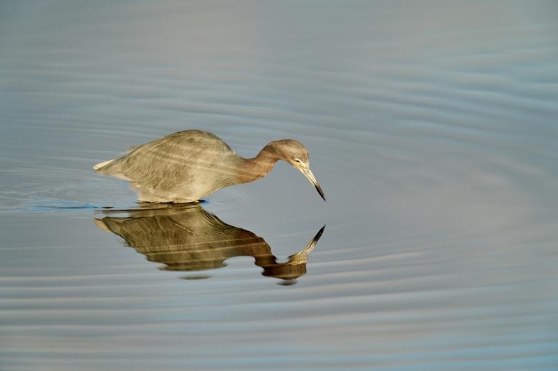 Little-Blue-Heron-hunting-_A9B9542-Merritt-Island-NWR-FL