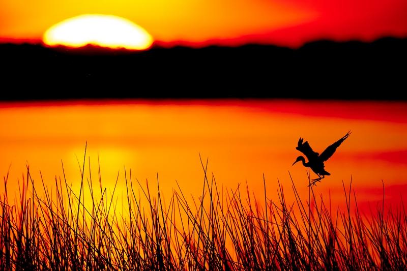 Little-Blue-Heron-juvenile-landing-at-evening-roost-_A9B6775-Indian-Lake-Estates-FL-1