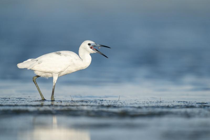 Little-Blue-Heron-w-tiny-fish-_A1A9228-Indian-Lake-Estates-FL-