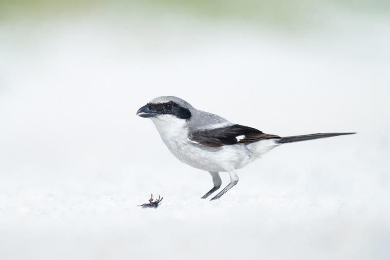 Loggerhead-Shrike-with-prey-item-_A1B5078-Fort-DeSoto-Park-FL-