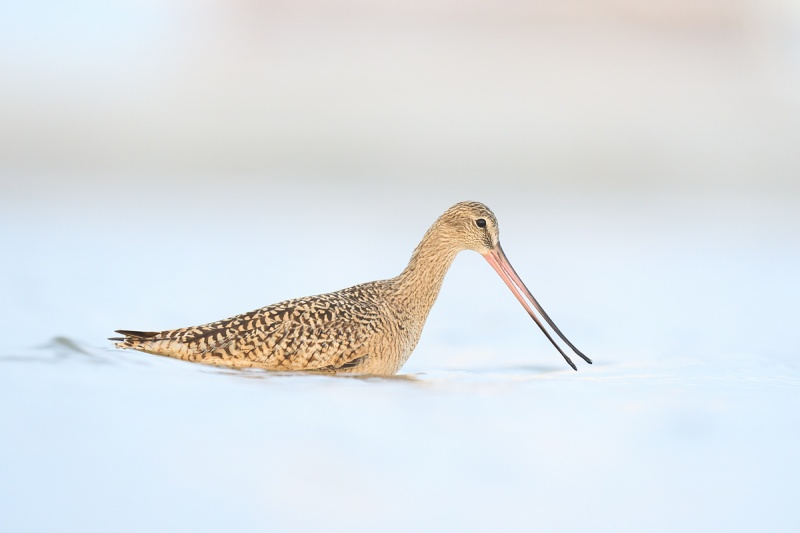 Marbled-Godwit-foraging-while-swimming-_A1B8519-Fort-DeSoto-Park-FL-1