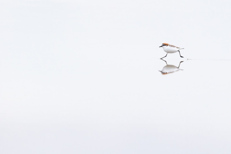 On-the-Run-Red-capped-Plover