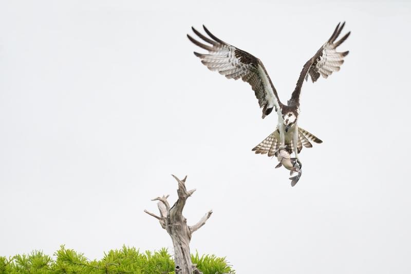 Osprey-eyeing-perch-_A1A7535-Lake-Blue-Cypress-FL-