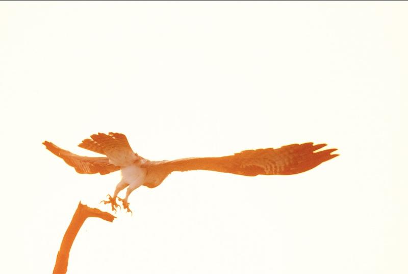 Osprey-headed-away-1
