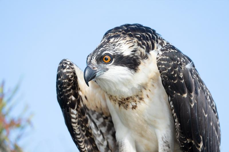 Osprey-large-chick-in-nest-female-_A1B4168-Lake-Blue-Cypress-FL-
