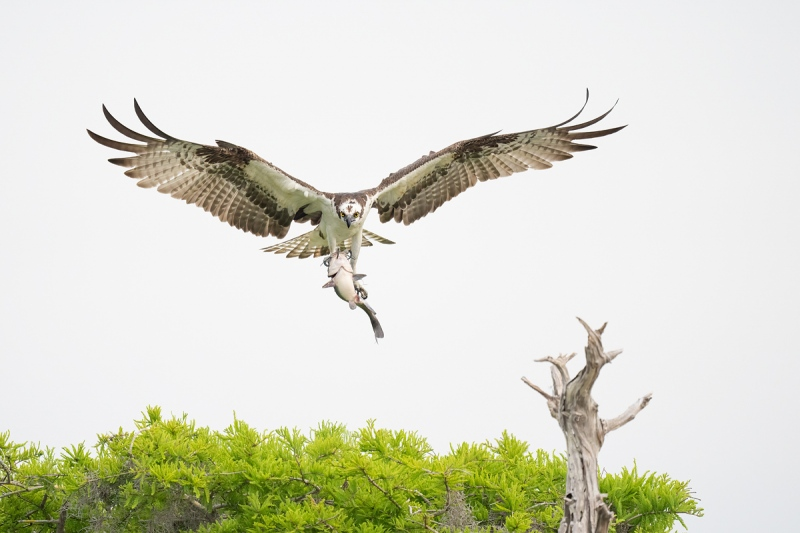 Osprey-with-catfish-left-of-perch-_A1A7723-Lake-Blue-Cypress-FL-
