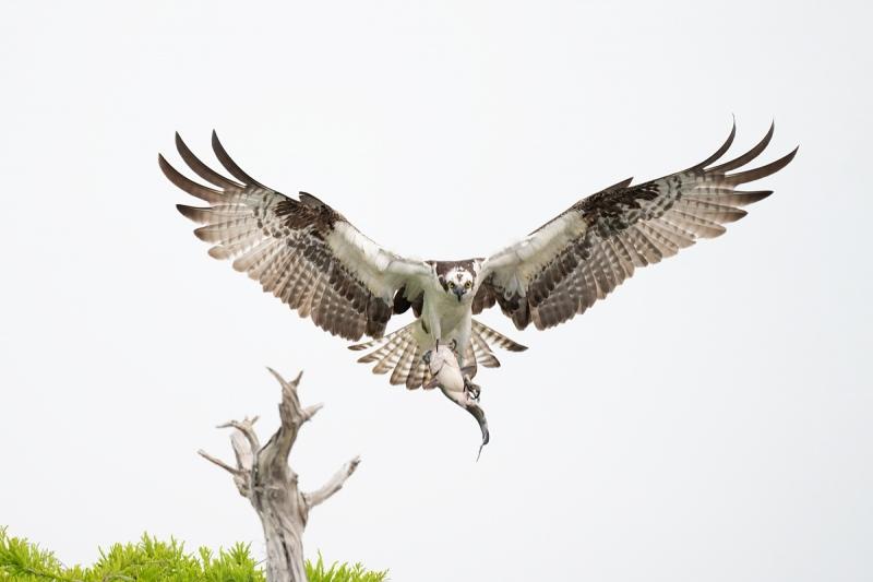 Osprey-with-catfish-near-perch-_A1A7507-Lake-Blue-Cypress-FL-