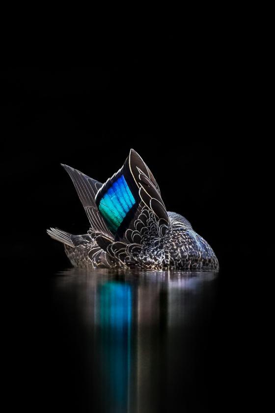Pacific-Black-Duck