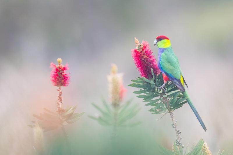 Red-capped-Parrot-on-Bottlebrushes