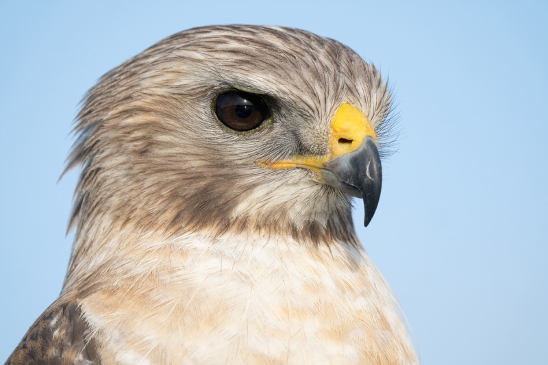 Red-shouldered-Hawk-head-shot-_A1B2022-Lake-Blue-Cypress-FL-