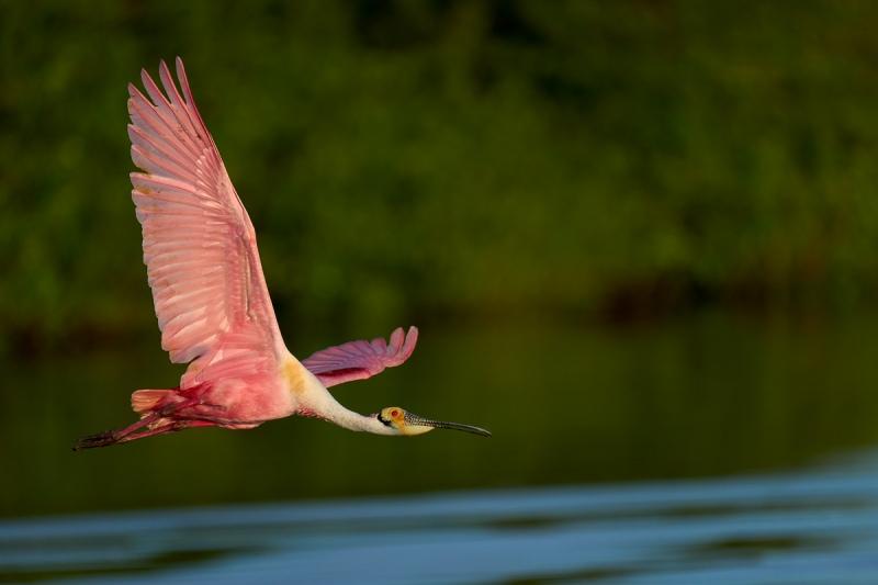 Roseate-Spoonbill-in-flight-_DSC3634Stick-Marsh-Vero-Beach-FL