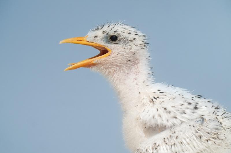 Royal-Tern-chick-begging-head-portrait-_A1B1627-Jacksonville-FL