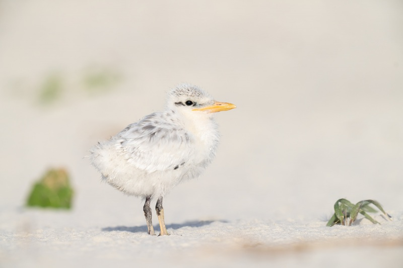 Royal-Tern-chick-on-beach-_A1B4393-Jacksonville-FL