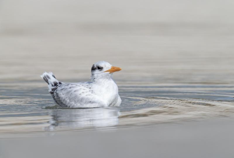 Royal-Tern-chick-swimming-_A1B5592-Jacksonville-FL