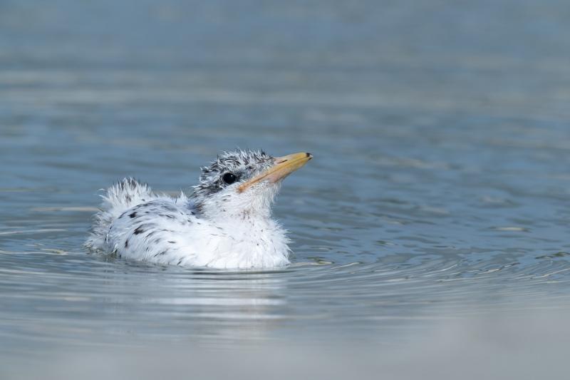 Royal-Tern-chick-swimming-_A1B5746-Jacksonville-FL