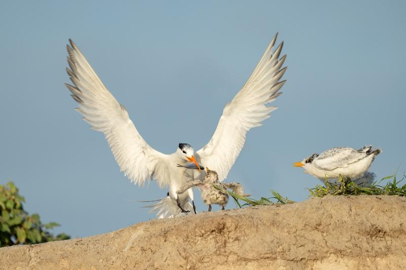 Royal-Tern-feeding-chick-_A1B6377-Jacksonville-FL