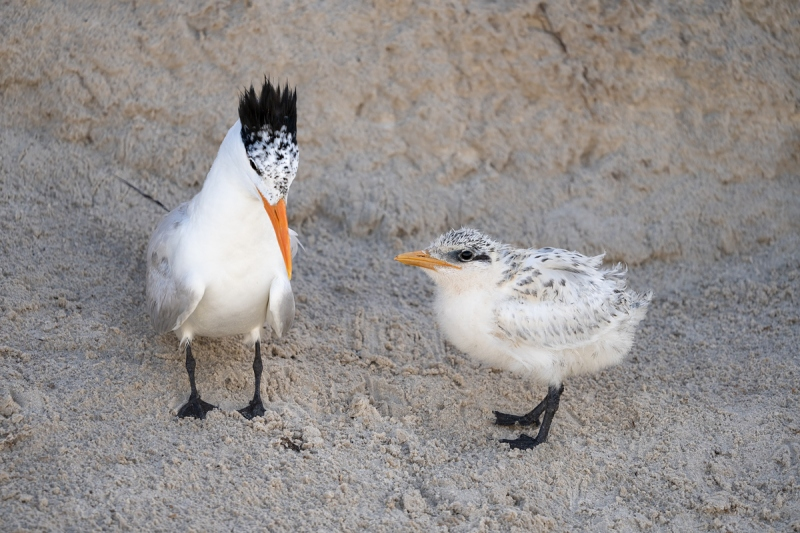 Royal-Tern-with-chick-_A1B6862-Jacksonville-FL