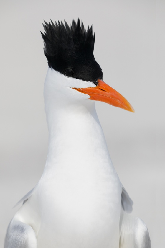 Royal-Tern-with-crest-raised
