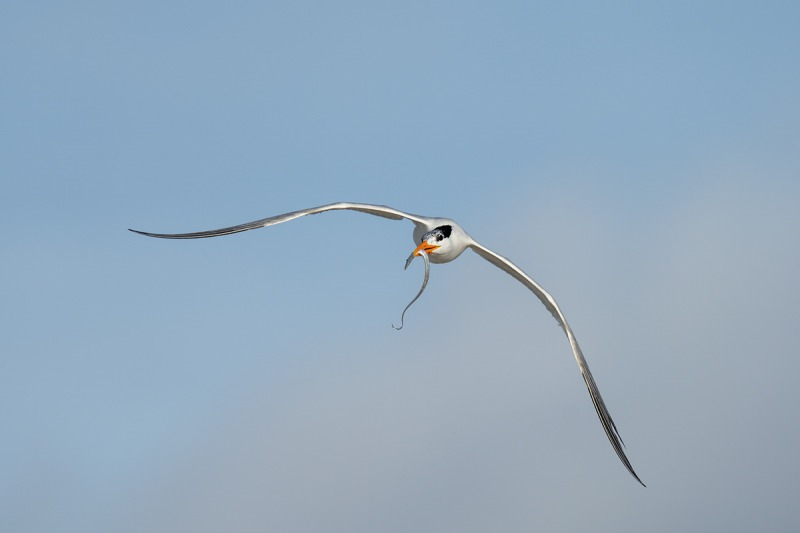 Royal-Tern-with-cutlassfish-scabbardfish-silvery-hairtail-family-Trichiuridae-for-young-_A1B7483-Jacksonville-FL