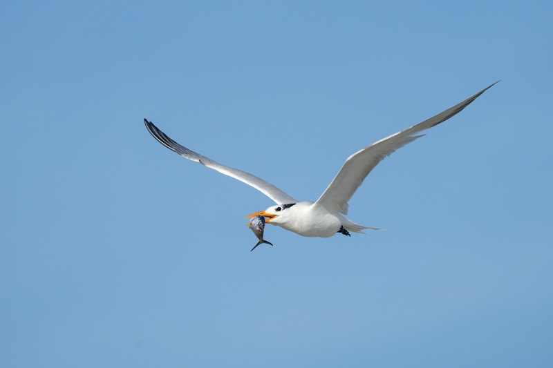 Royal-Tern-with-fish-_A1B9663-Jacksonville-FL