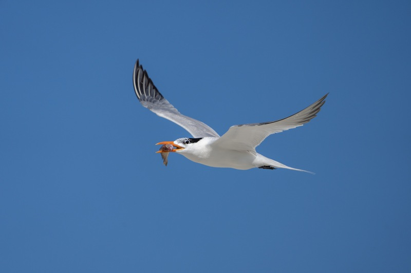 Royal-Tern-with-fish-for-young-_A1B6513-Jacksonville-FL