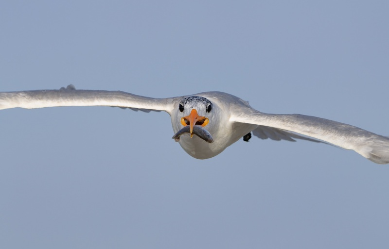 Royal-Tern-with-fish-for-young-_A1B9750-Jacksonville-FL