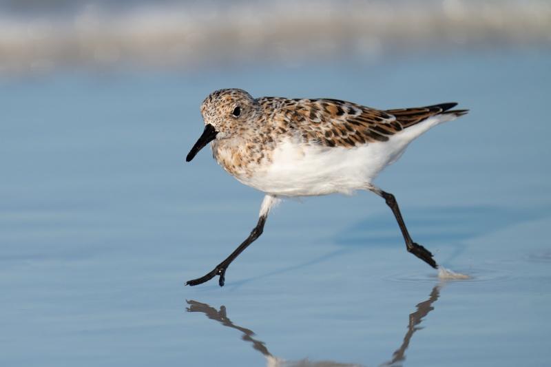 Sanderling-breeding-plumage-running-_A1A9687-Fort-DeSoto-Park-Tierra-Verde-FL-