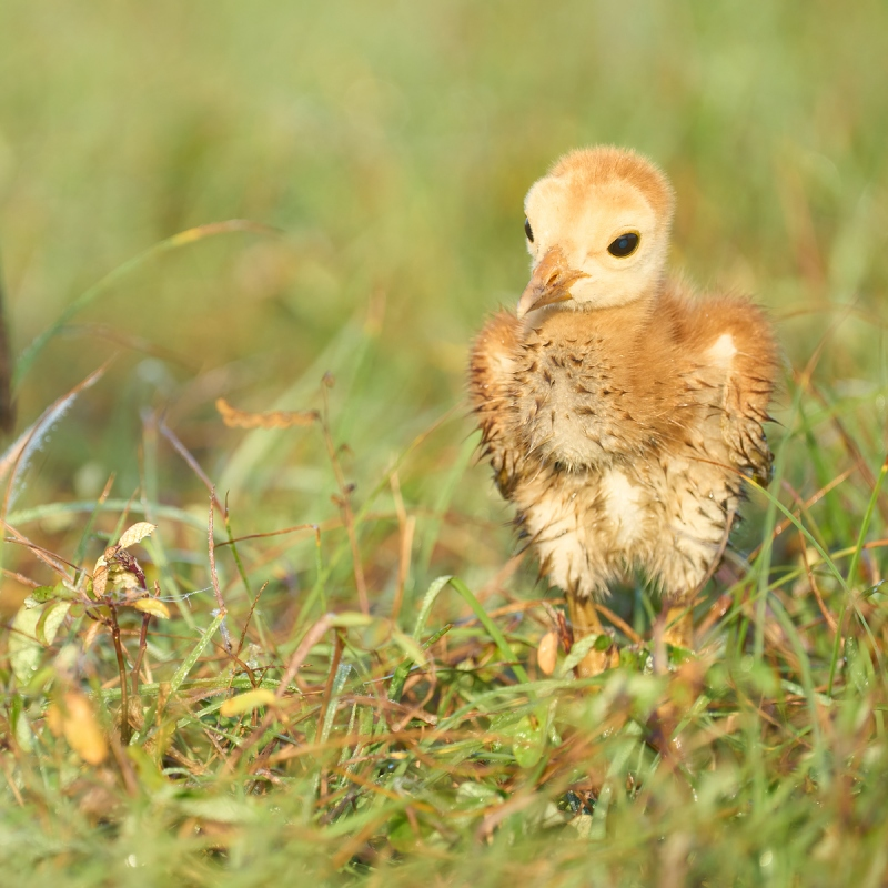 Sandhill-Crane-chick-3-days-old-and-wet-in-grass-_A1A0777-Indian-Lake-Estates-FL