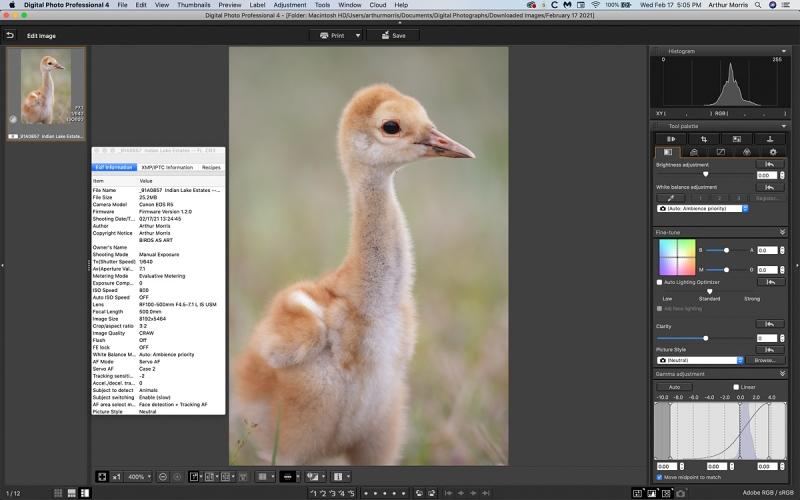 Sandhill-Crane-chick-DPP-4-1