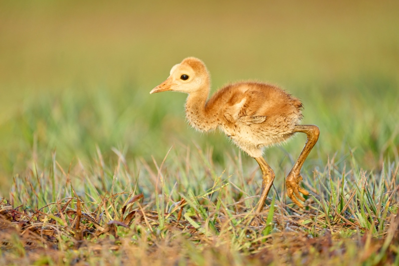 Sandhill-Crane-chick-headed-for-adult-with-mole-cricket-_A1A5771-Indian-Lake-Estates-FL