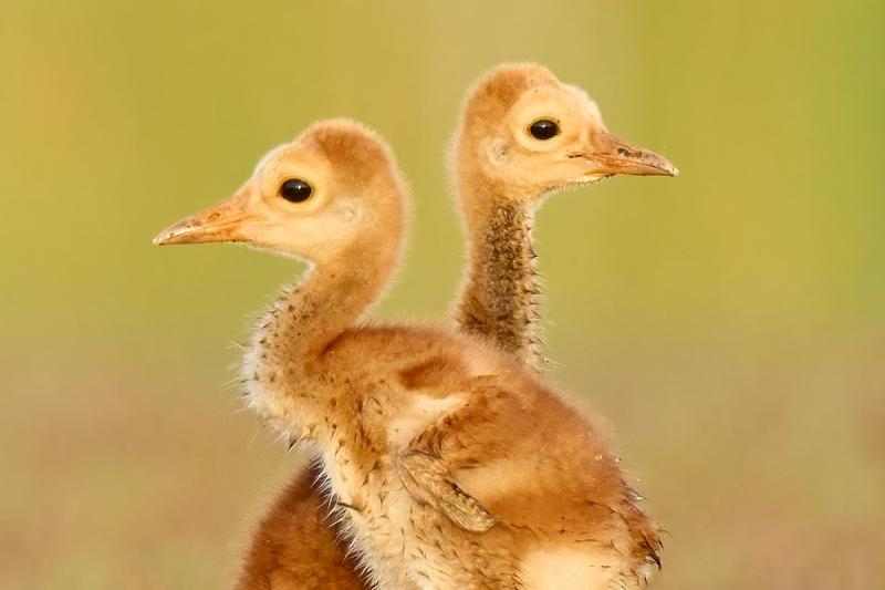 Sandhill-Crane-chick-twins-HUGE-CROP-_A1A5560-Indian-Lake-Estates-FL