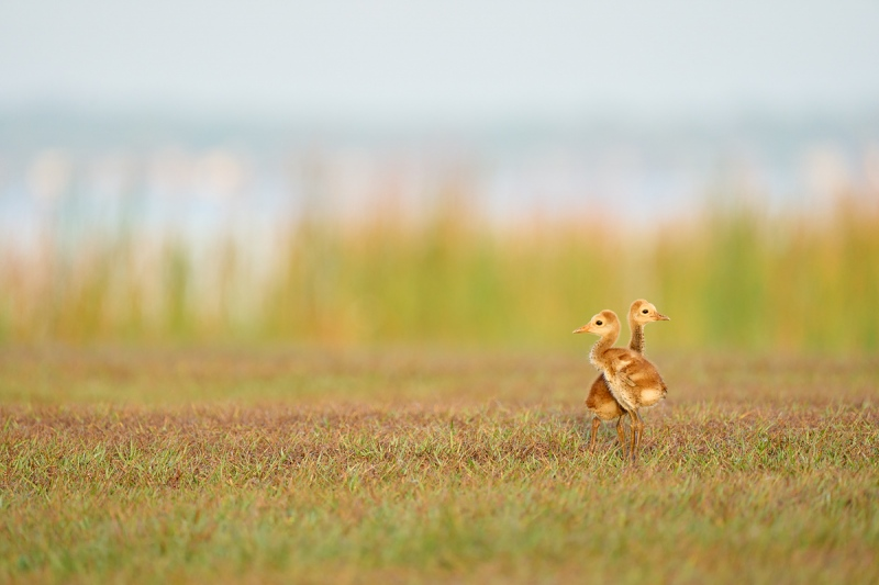 Sandhill-Crane-chick-twins-six-days-old-_A1A5560-Indian-Lake-Estates-FL