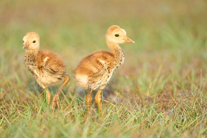 Sandhill-Crane-chicks-wet-3-days-old-_A1A0668-Indian-Lake-Estates-FL