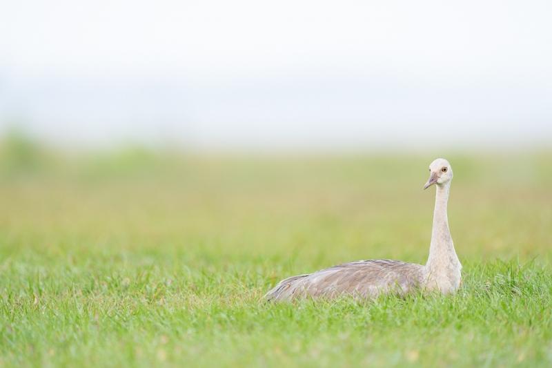 Sandhill-Crane-colt-resting-_A1B8733-Indian-Lake-Estates-FL-