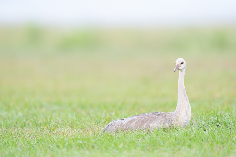 Sandhill-Crane-colt-resting-_A1B8741-Indian-Lake-Estates-FL-