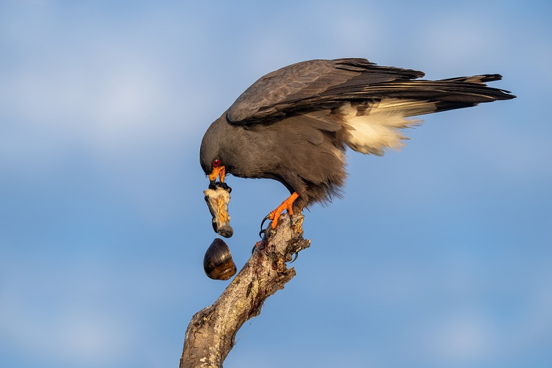 Snail-kite-with-apple-snail-and-falling-shell_A1A5712-Lake-Kissimmee-Florida-USA