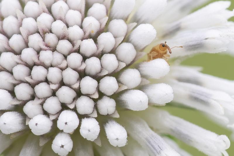 Snow-Squarestem-big-crop-_A1B4972-Indian-Lake-Estates-FL