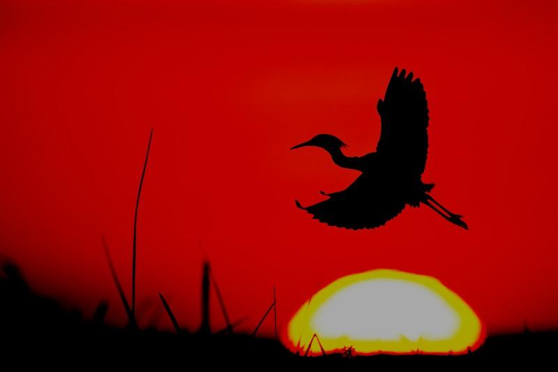 Snowy-Egret-and-setting-sun-_DSC3122-Indian-Lake-Estates-FL