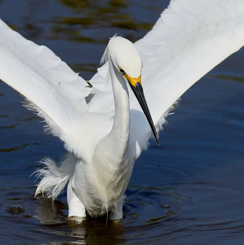 Snowy-Egret-dip-landing-100-Scrn-Capt-1