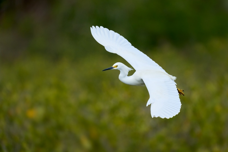 Snowy-Egret-landing-top-shot-_DSC9301-Merritt-Island-NWR-FL-1